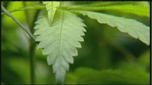 opinion_on_marijuana_laws_shifting_1144170000_20130702231647_640_480